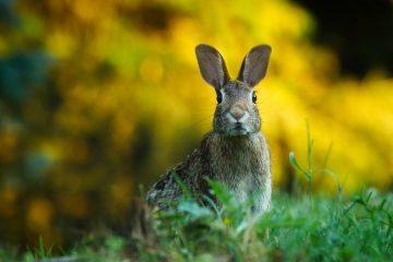 konijnen in het wild
