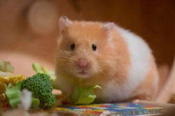 wat mag een hamster niet eten?