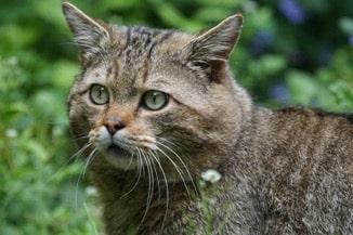 wilde kat in nederland